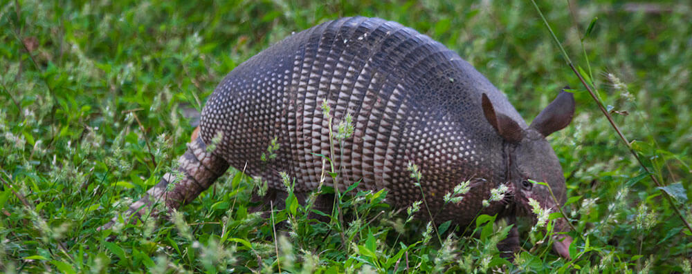 Armadillo-at-the-Refuge