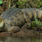 Crocodile-in-Curu-Refuge-River