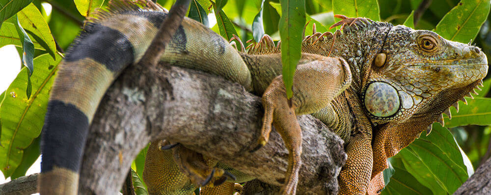 Iguana-at-Cabo-Blanco-in-Cabuya